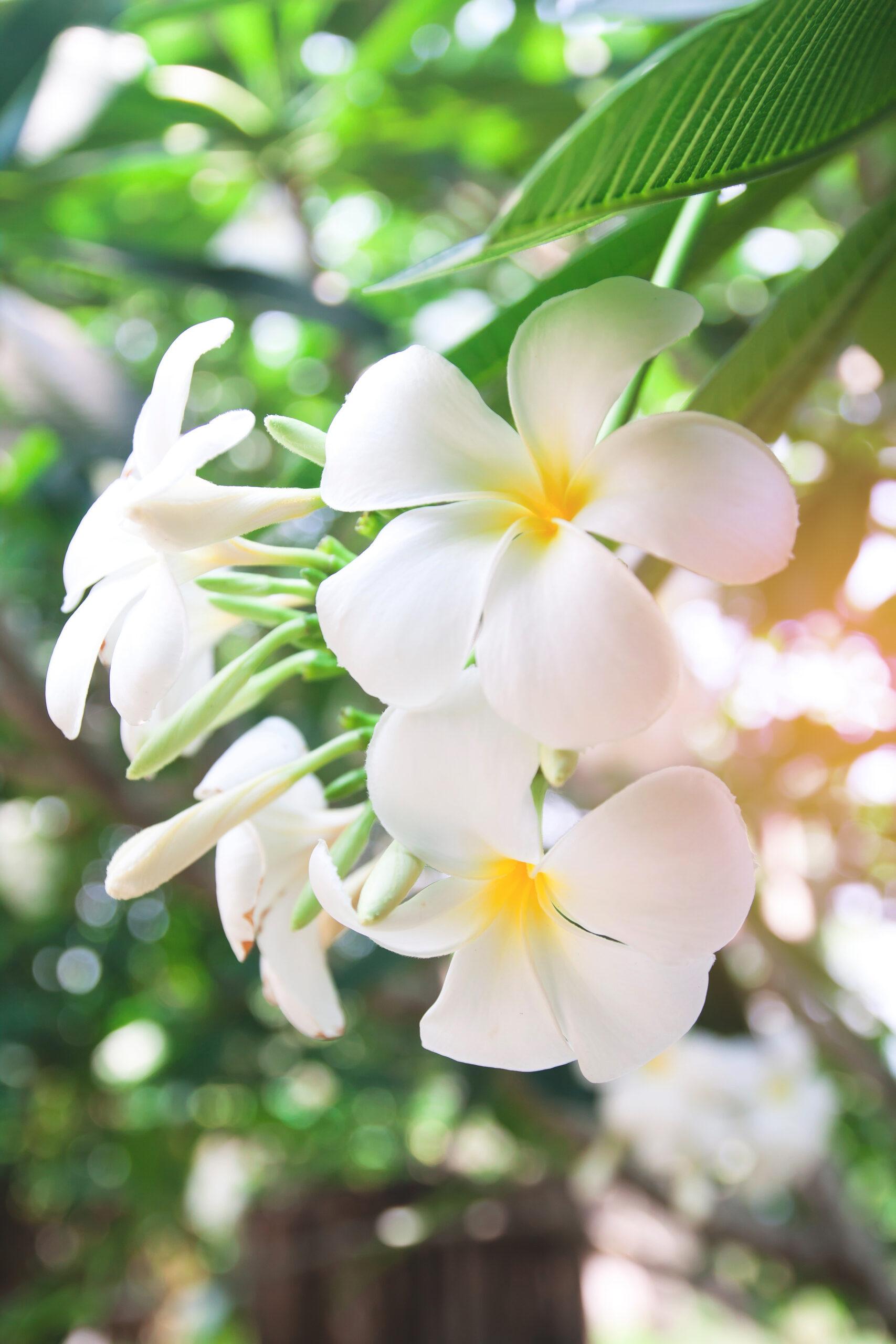 Fresh yellow and white plumeria flower in garden